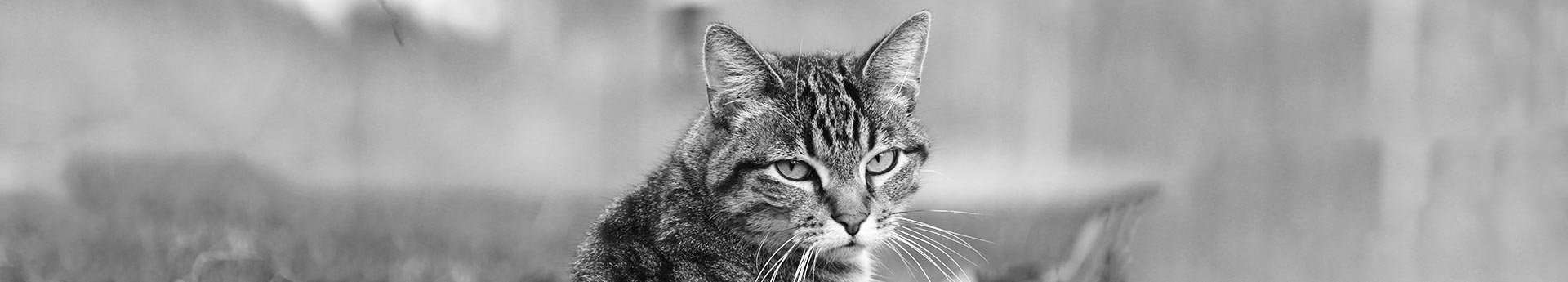 ORIJEN Regional Red Dry Cat Food - Cat looking unconcerned - Louie from Churubusco, Indiana.